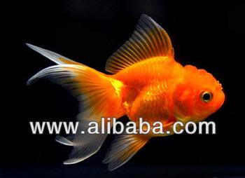 Aquarium Fish Farm And Export From Thailand