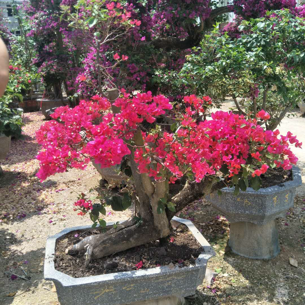 Fujian Zhangzhou Nursery Bougainvillea Tree Product On Alibaba