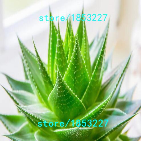 aloe vera plante livraison alo vera plante verte foliflora vente aloe vera plante entretien. Black Bedroom Furniture Sets. Home Design Ideas