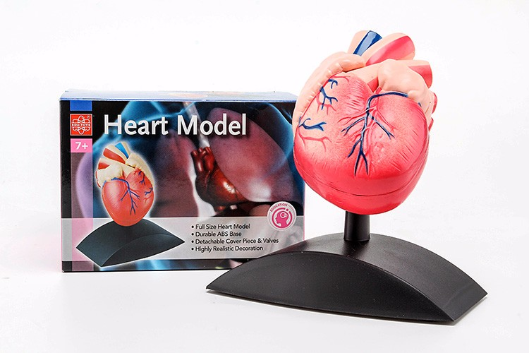 Hm-bd-088 High Quality Plastic Human Heart Anatomy Model Heart Model ...