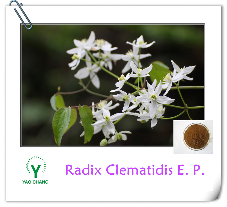 Hot Selling Chinese Radix Clematidis Root Extract Powder