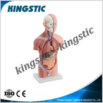 42cm Male Torso 13 Partshuman Anatomyanatomical Modelhuman Body