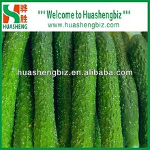 Hot Sale Fresh cucumber