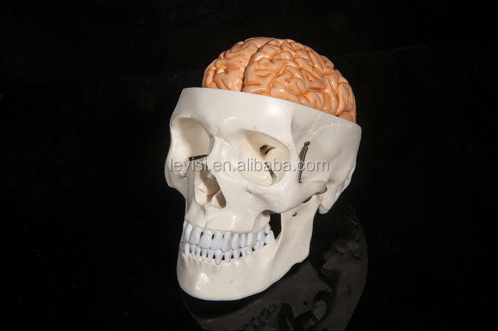 Head attached Brain Model,Neurology Medical Brain Model