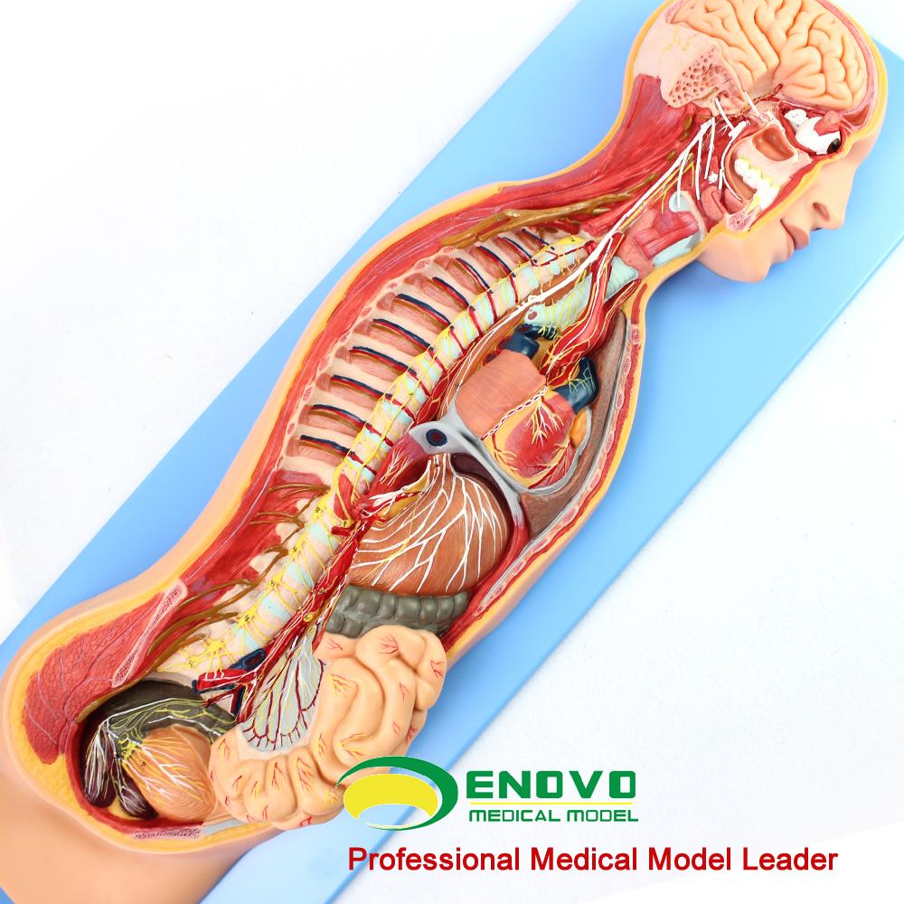 La anatomía del cerebro humano 12415 sistema nervioso simpático ...