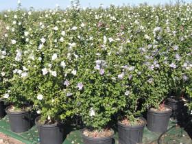 Hibiscus Syriacus Tree Plant 3 Buy Hibiscus Syriacus Tree Plant 3