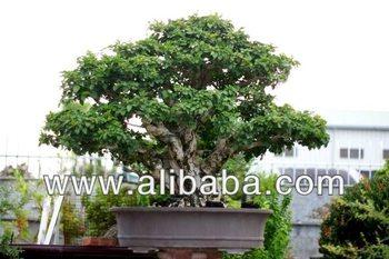 Taiwan bonsai bougainvilleapaper flower gum no140331 buy taiwan bonsai bougainvillea paper flower gum no140331 mightylinksfo