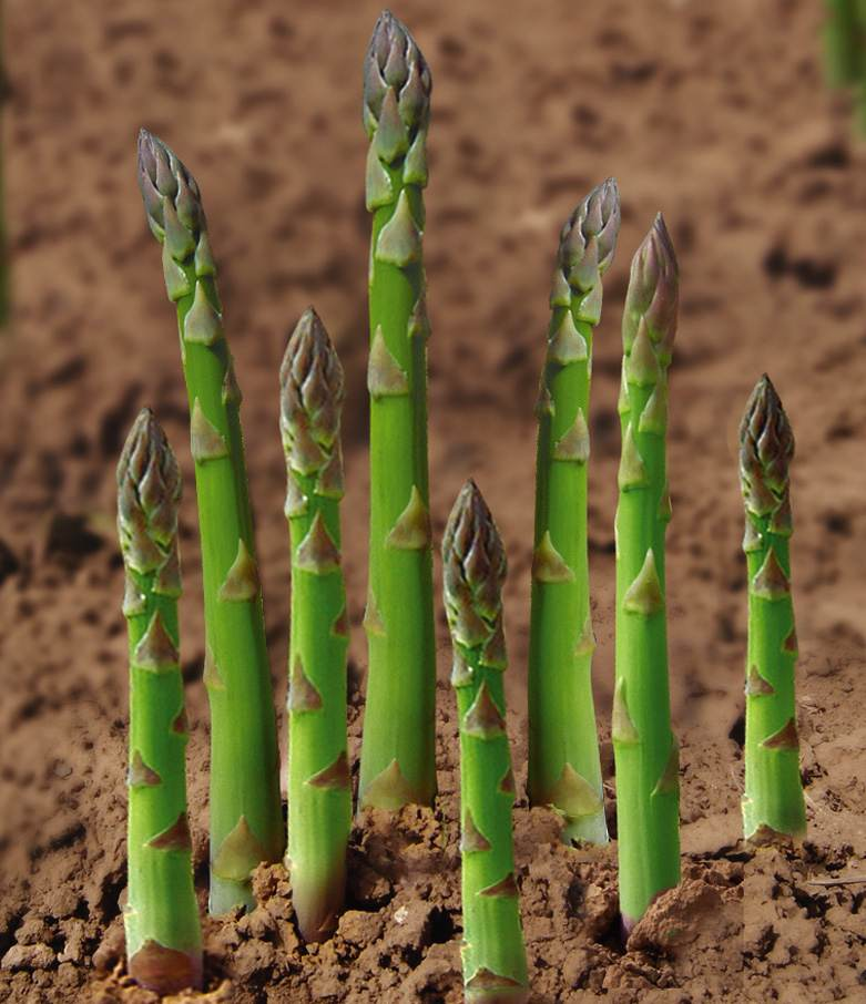 Planting Asparagus Crowns White Purple Green Asparagus Seeds For Sale Yields 2500kg 667m2 Can Harvest For 15 20 Years Buy Planting Asparagus Crowns How To Plant Asparagus Roots Asparagus Plant Product On Alibaba Com