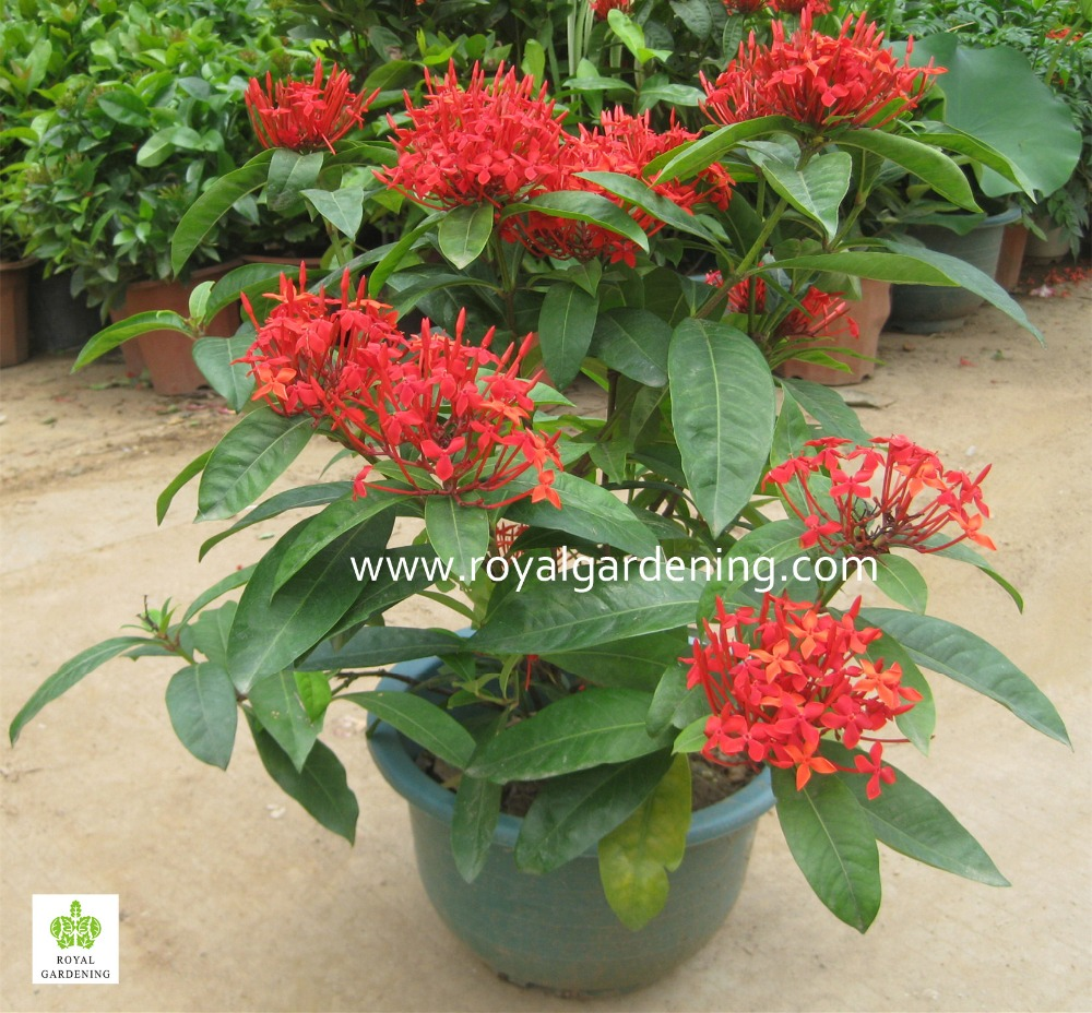 Jungle flame ixora chinensis ixora chinensis lam for Decorative plants for garden