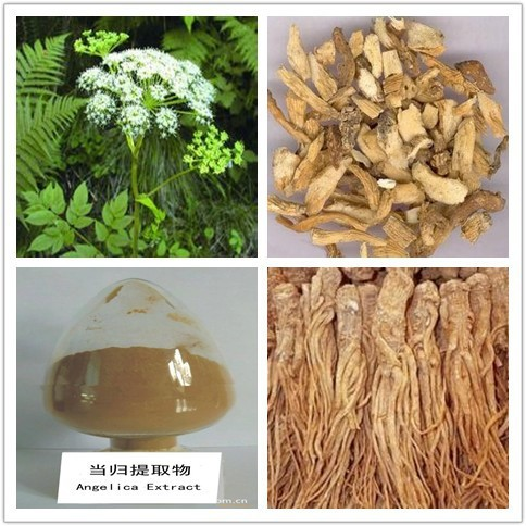 dong quai extract /Angelica root Extract