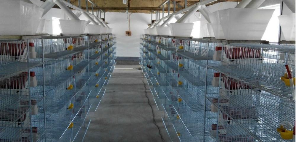 Poulet cage pour poules pondeuses automatique caille cage for Duree de vie des poules pondeuses