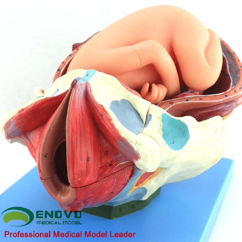 Venta humano 12470 parto entrega procedimiento anatomía modelo ...
