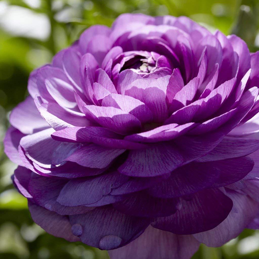 Фото фиолетовая фрезия в саду правило, дачные