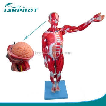 78cm Human Full Body And Muscles Modelanatomical Muscles Of Male