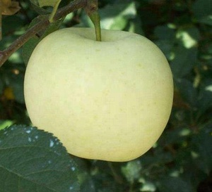 Apple Fruit Real Pic