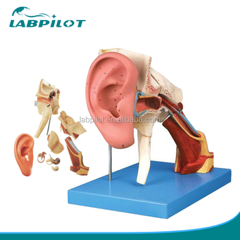 4 Times Enlarged Ear Structure Modelmedical Ear Anatomy Buy