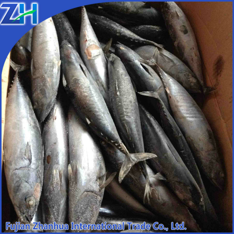Frozen tuna fish for can producing