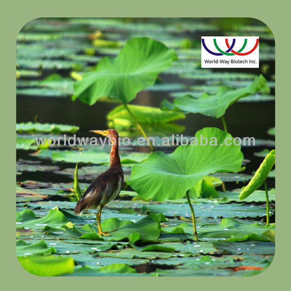 free sample ! 100% natural herbal extraction pure lotus leaf extract , powder Nelumbo Nucifera Gaern. extract