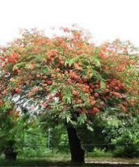 Cassia Marginata (qg) Seeds,Cassia Rose Tree And The Red Shower ...