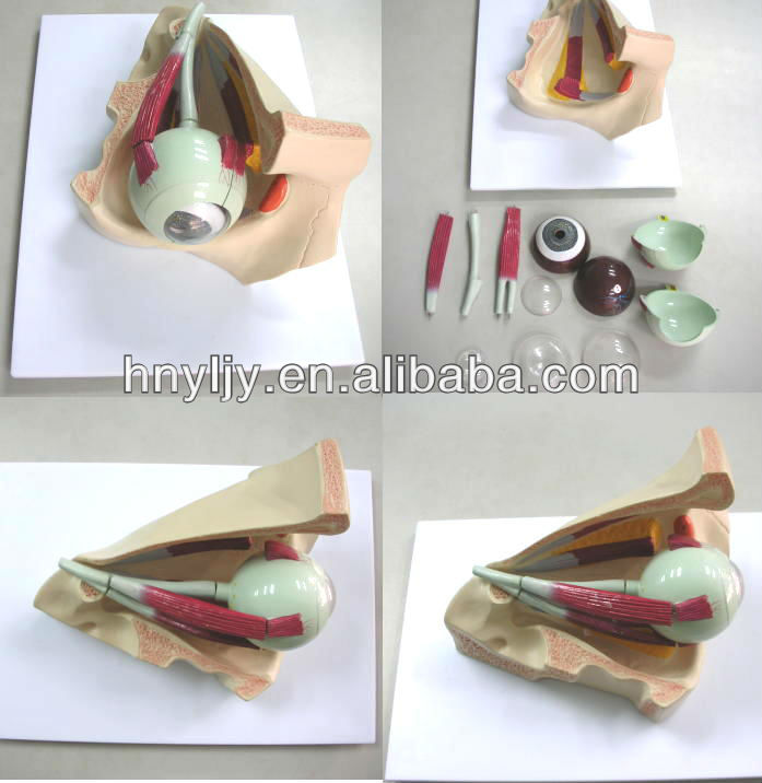 Educational,Medical &Science lab consumables teaching &medical anatomical model- human eyeball anatomical model