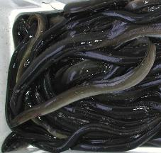 Live or Frozen Atlantic Anguilla Eels