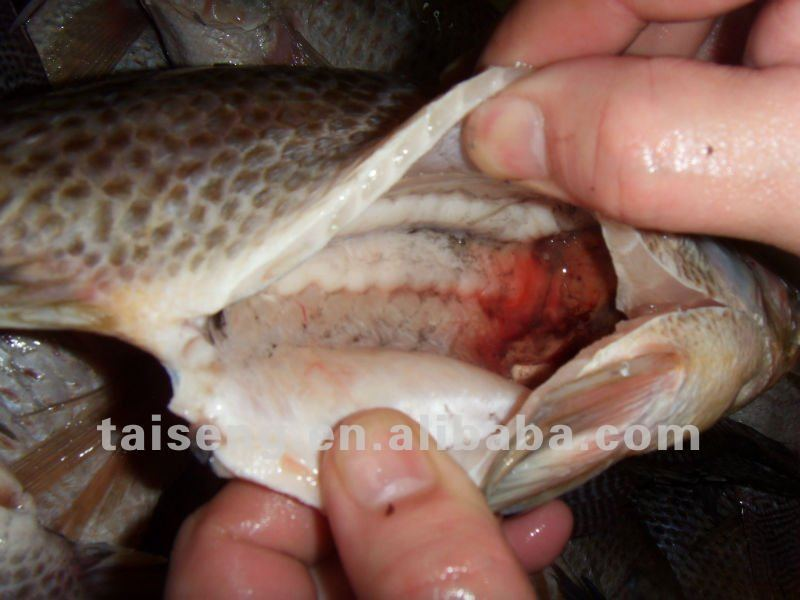 Best Fresh Frozen Tilapia Whole Gutted Scaled Fish In Miami