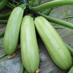 High yield green marrow seeds, summer squash seeds for plant
