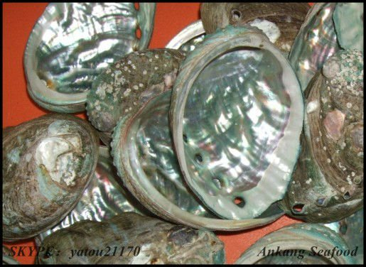 natual abalone shells wholesale