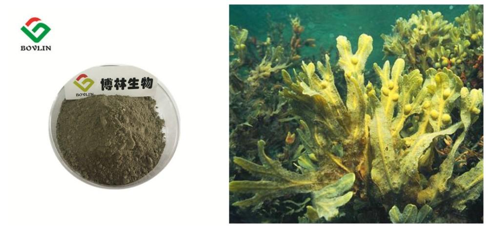 Algas fucus adelgazar rapido