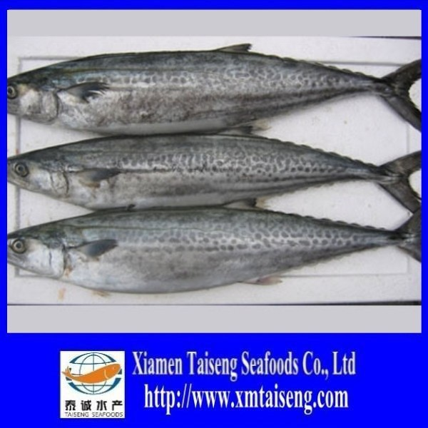Frozen Spanish Mackerel Fish Whole Round / Spanish mackerel For Sale/Canned Spanish Mackerel