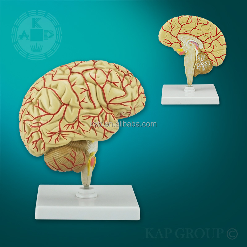 High-quality 3d Anatomical Cerebral Medical Study Human Brain Model ...
