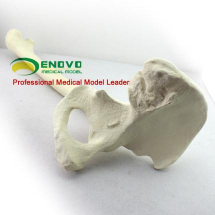 Tf03 (12314) Synthetische Knochen Links Hüftgelenk Mit Femur,Swabone ...