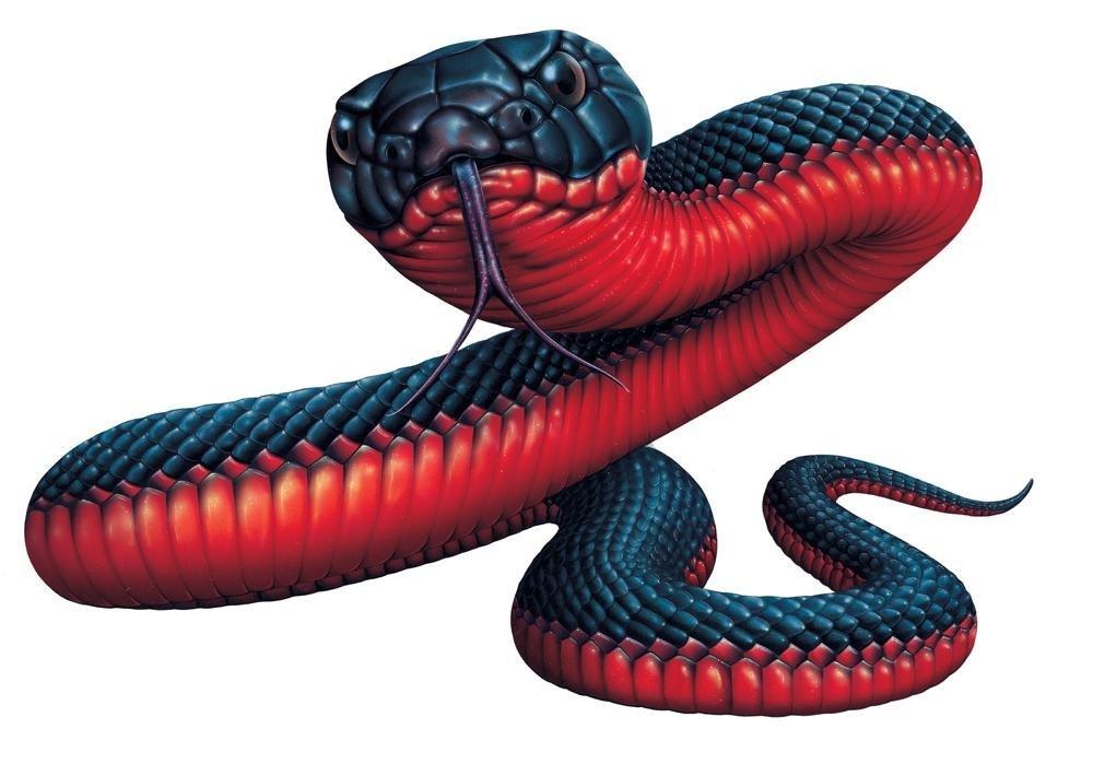 "buy red-bellied black snake (pseudechis porphyriacus) - 12""w x 8""h"