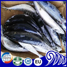 BQF Seafoods And Frozen Food Pacific Mackerel Fish 300-500g