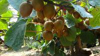 Fresh Yellow kiwi fruit Chinese kiwi fruit delicious kiwi fruit