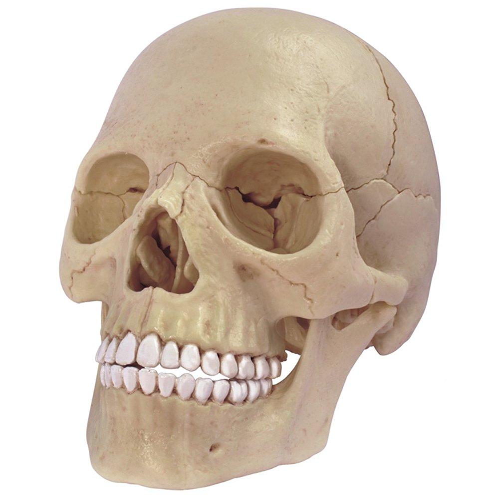 Cheap 3d Human Skull Model, find 3d Human Skull Model deals on line ...