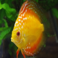 Freshwater Fish,White Diamond Discus
