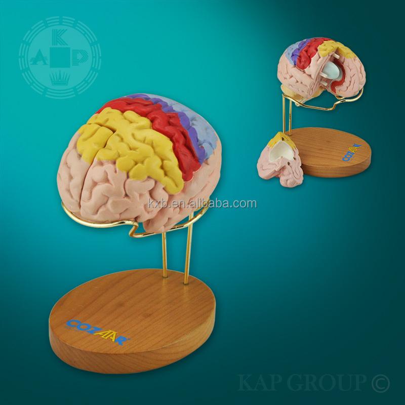 Advanced Colored Brain Partition Model,2 Parts,Anatomy Models Brain ...