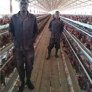 Poultry Chicken Battery Cages For Layers For Farms In Ghana