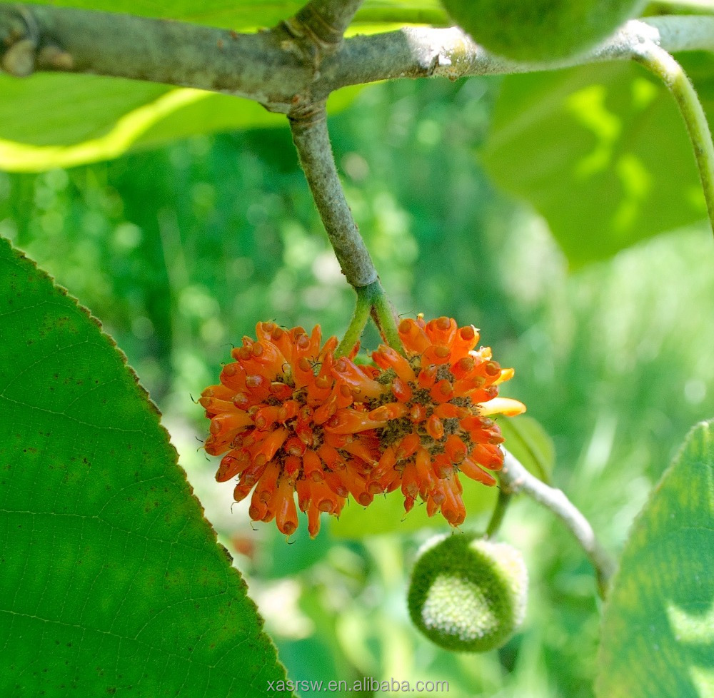 SR Fruit Of Paper Mulberry