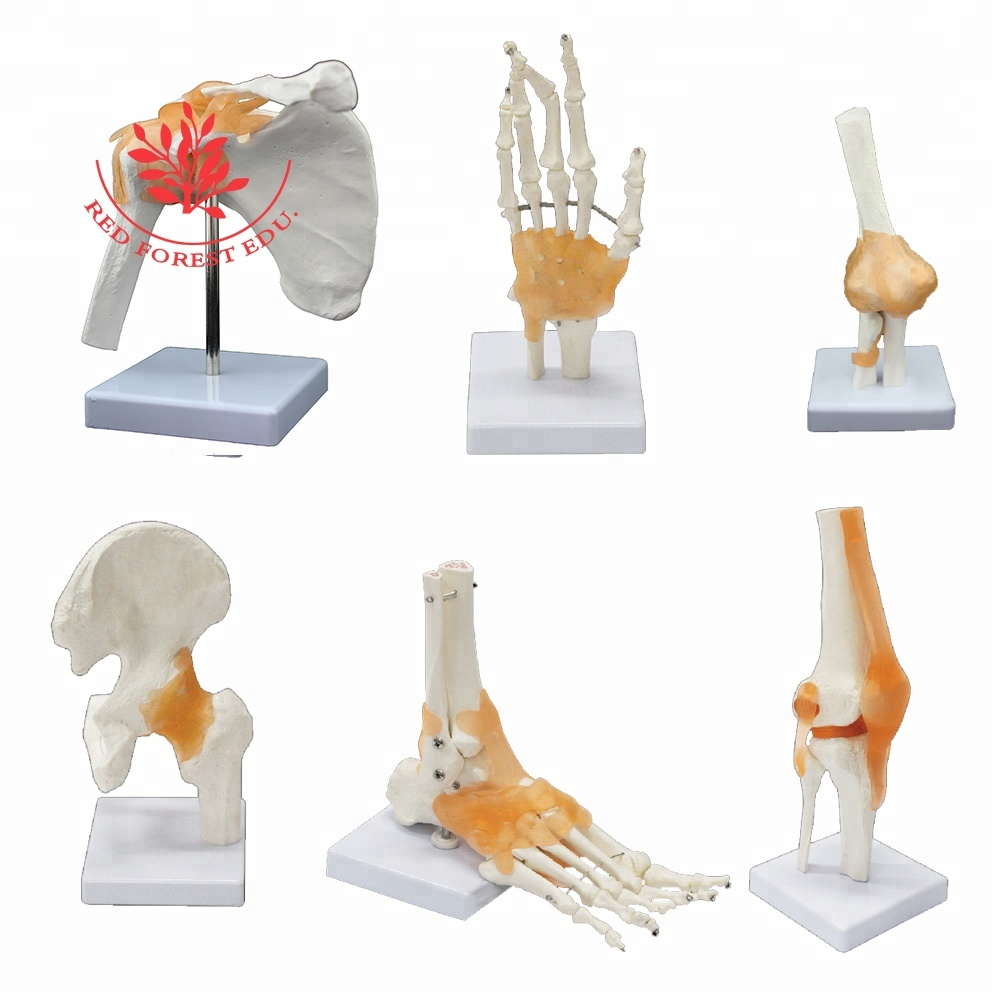 HOT Joint Series <strong>model</strong>, Human Shoulder ,Elbow ,Hip ,Knee,Hand ,Foot Joint Bone <strong>models</strong>