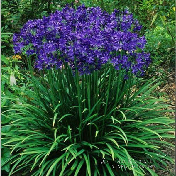 achetez en gros fleur agapanthes en ligne des grossistes fleur agapanthes chinois aliexpress. Black Bedroom Furniture Sets. Home Design Ideas