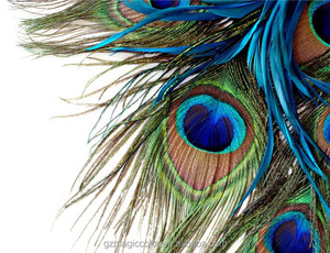 beautiful peacock's feathers HD photo wall decor murals wallpaper