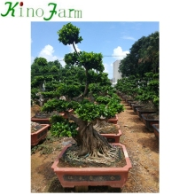 Bonsai Ficus <span class=keywords><strong>Microcarpa</strong></span>