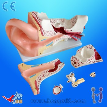 Advanced Pvc Anatomy Ear Modelear Anatomy Model Buy Ear Anatomy
