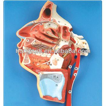 Iso 3-d Modelo De Rostro Humano,Nervios - Buy Anatomía 3d Modelo ...