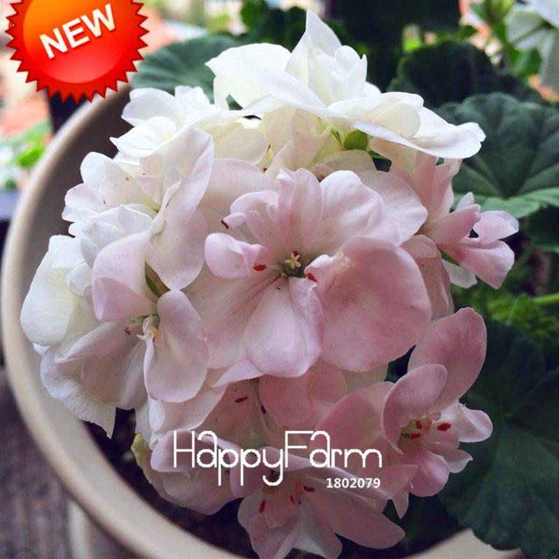 Hot Sale!20 Seed/BLot Geranium Seeds Perennial Flower Seeds Pelargonium Peltatum Seeds, 17 Colors Available,#1CXLRE