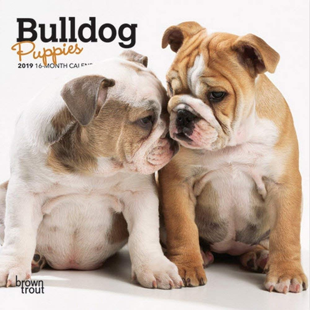 Cheap Bulldog Puppies Sale Find Bulldog Puppies Sale Deals On Line