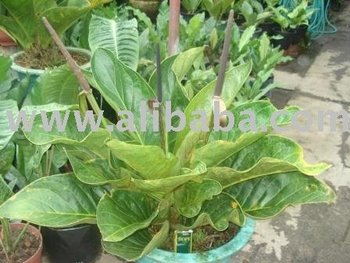 Anthurium Jenmanii Buy Plant Product On Alibaba Com