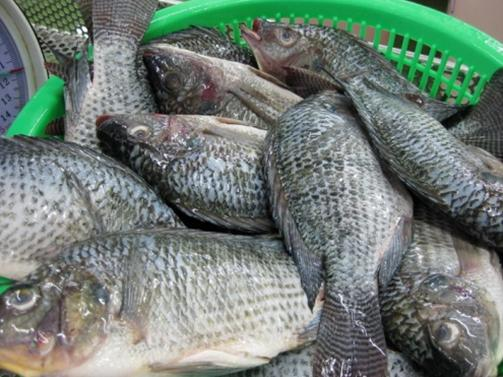Good Quality Frozen Tilapia Fish Frozen